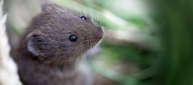 A short-tailed vole, or field vole.
