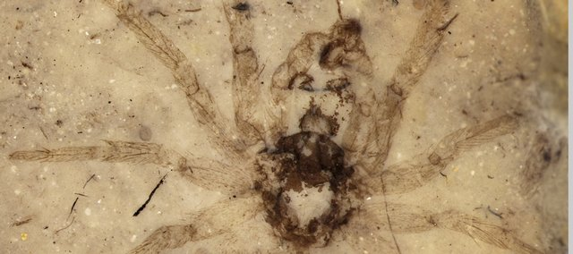 This photo, courtesy of Paul Selden, shows the recently found spider fossil. The black line at the bottom is 1 millimeter in length.