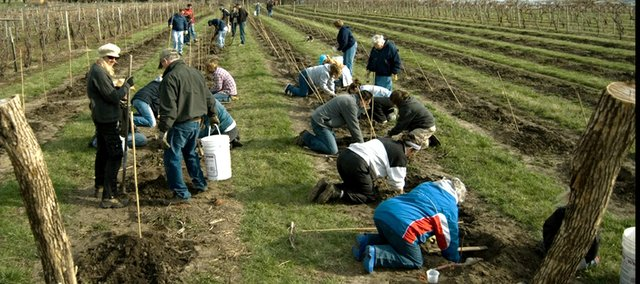 Volunteers help plant grapevines for Holy-Field Vineyard and Winery in Basehor in this April 2008 file photo.