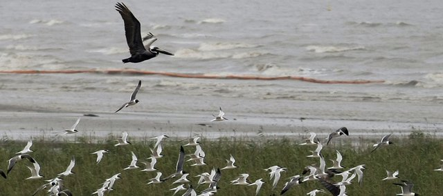 Brown pelicans and gulls fly in front of oil booms Friday along the shoreline at Pass a l'Outre, La., where the Mississippi River meets the Gulf of Mexico. Wildlife in the region is vulnerable to the looming oil spill from last week's collapse and spill of the Deepwater Horizon oil rig.