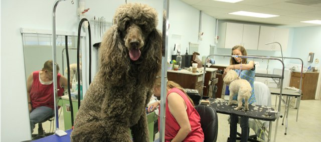 Phoebe, a chocolate standard poodle, goes through a day's transformation at Christal K-9, 3115 W. Sixth St.