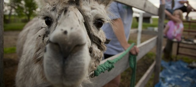 The Hubbells' llama Dalai peeks through the fence at their farm Friday. The family is donating sheared llama hair to help clean up the oil spill in the Gulf of Mexico.