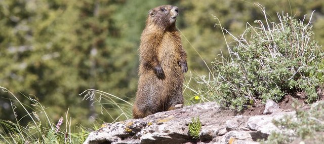Yellow-bellied marmots have benefited from a warming climate that has shortened the hibernation season and lengthened feeding seasons for young and adults alike.