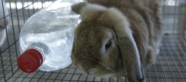 A rabbit huddles close to a frozen water bottle at the Douglas County Fair on Tuesday, trying to keep cool in temperatures that topped 100 degrees.