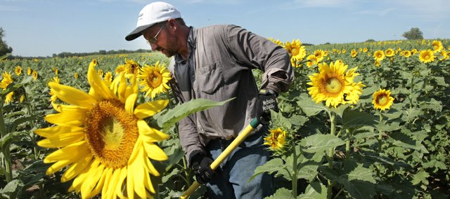 Ted Grinter works in his sunflower field early on Thursday, August 19. Sunflowers are starting to bloom across northeast Kansas, and Grinter's farm between Lawrence and Tonganoxie is no exception.