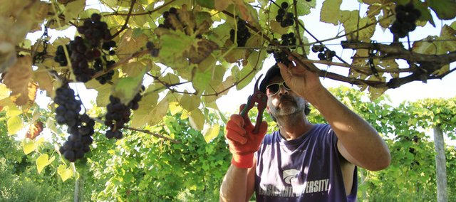 Scott Watts, 45, of Paola, picks grapes for what will become this year's wine at Davenport Orchards and Winery on Saturday.