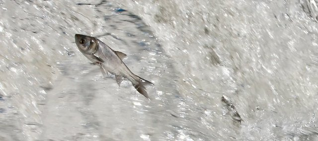In this submitted photo from Pete Haack, asian carp jump from a stream near the Clinton Lake outlet park.