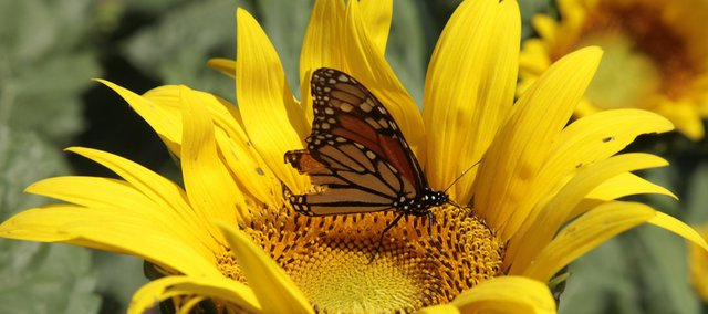 A Monarch Butterfly alights on a sunflower near Tonganoxie. Monarchs are passing through this area on their annual fall migration to Mexico, and Monarch Watch at KU has a couple of events planned this month.