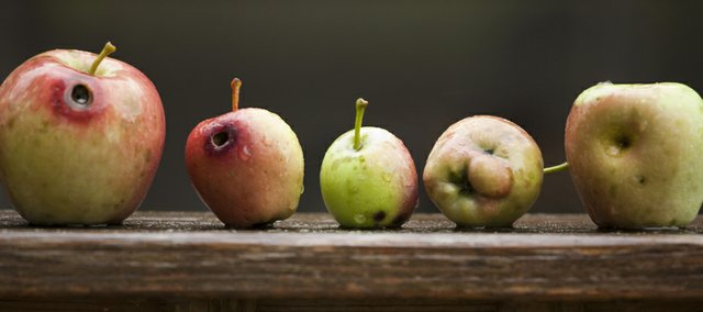 Apples of different sizes from the same tree on Dick Wingfield's property show signs of fungus and holes from moths or worms.