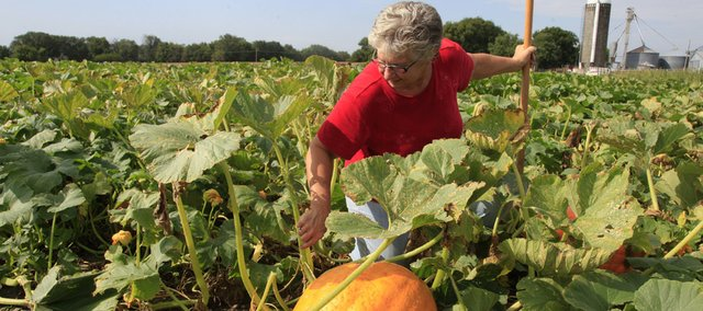 Janet Schaake examines the pumpkin crop recently at Schaake's Pumpkin Patch east of Lawrence.