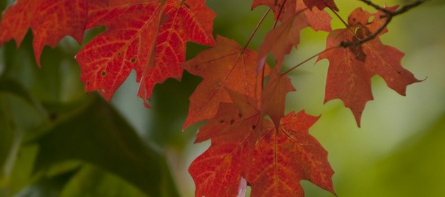 Maple leaves display their bright fall color against a green backdrop in central Lawrence. Focusing on a small collection of leaves directs more attention to their bright colors.