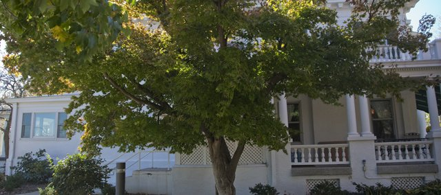 This Japanese Maple tree on the north side of the Chancellor's residence at KU is a Kansas Champion tree. Champions are determined by the tree's circumference, height and crown spread.