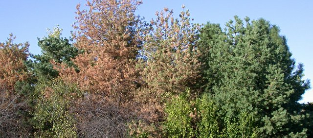 Pine wilt is the disease that is killing many of the Scotch and Austrian pines in our area, completely unrelated to the problems in the western part of the U.S. There's a new product out for control that is pretty ineffective.