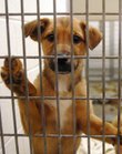 In this file photo from Jan. 9, 2008, a puppy looks out of its cage at the Lawrence Humane Society.