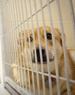 In this 2009 file photo, Toby, a Shepherd Mix, stares out of her cage as Amanda Baldwin, an employee of the at the Lawrence and Douglas County Humane Society, makes her rounds filling water bowls Thursday. On Thursday, the Humane Society received 24 dogs from animal shelters in Pratt and Hutchinson that are ready to be adopted.