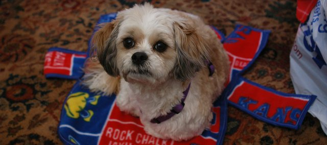 Shawnee resident Barbara McPherson, a retired school principal, started Boomeroos, which sells custom-made collegiate fleece jackets for dogs. McPherson is a loyal K-State fan, but here, her shih tzu, Boomer, finds a rejected KU Boomeroo (one of McPherson's first attempts at sewing) to be a cozy bed.
