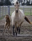 A two-week-old filly kicks up some dirt with its mother. The mare was among several horses that were rescued by the Humane Society and are now getting nursed back to health at Stepping Stone Ranch in Baldwin City. Ranch owners Vera and Steve Gannaway hope to adopt out all the horses.