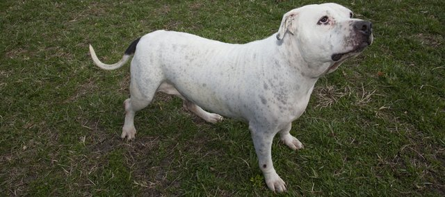 Ivory is a female bulldog that weighed 83 pounds when she first came to the Lawrence Humane Society last September. She was put on a diet and now weighs in just over 66 pounds.