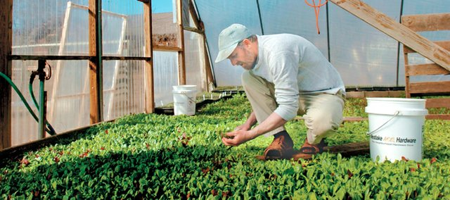 Organic farmer Mark Lumpe works to cut an assortment of baby greens in one of his three greenhouses at Wakarusa Valley Farms. Lumpe is part of the Rolling Prairie Farmers Alliance, which delivers a variety of produce to members in the spring and summer.