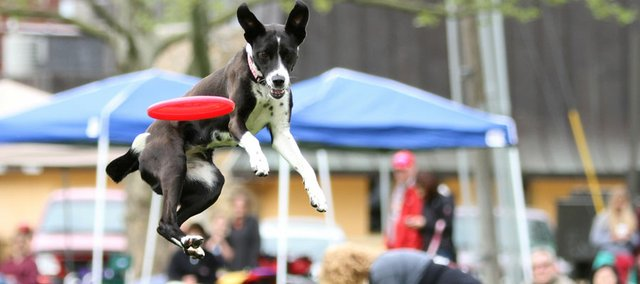 Boo, a 2-year-old mix, gets airborne for a Frisbee during the SkyHoundz Frisbee Disc Championship while Terry Burnett of Kansas City, Mo., background, removes something leftover by Boo in the lawn at South Park on Sunday. Dog owners and spectators watched as local dogs and area dogs showed off their leaping abilities.