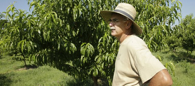 David  Vertacnik, looks over his apple and peach trees just east of Lawrence in the fertile Kaw Valley. Vertacnik says a deep freeze in February has left him with a 40 percent apple crop and virtually no peaches.