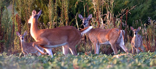 In this 2006 file photo, two female deer and their young graze in a soybean field north of Lawrence. This holiday season, a group of hunters is using their skills to feed the hungry.