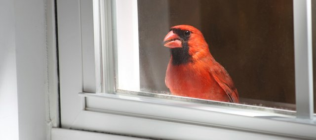 "The United States Fish and Wildlife Service even goes as far as saying that plate glass is one of the greatest hazards to birds, ""… with windows in homes and offices killing as many as one billion birds each year."" Cardinals like the one pictured here have been known to lash out at their own reflection."