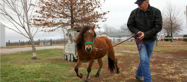 Coco, a Shetland pony, scampers on a lead with Steve Gannaway of Stepping Stone Ranch in Baldwin City. Coco was rescued from a farm after being neglected for years by her previous owner. Now the horse is ready for adoption.