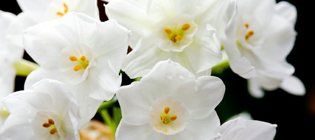 Paperwhite narcissus, a type of daffodil, is an exceptionally easy flower to force into bloom. If you've tried to grow them before and they have flopped, try a splash of liquor. Alcohol stunts the growth of flowers, which will keep them from flopping.