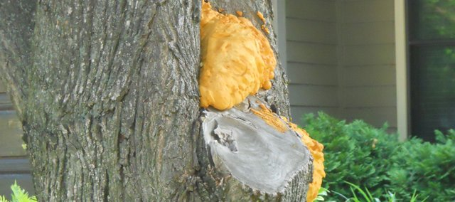 Using pruner's paint, sealant or spray foam as pictured here when treating a pruned limb is a big no-no. Some sealants lock in moisture, which allow pathogens to flourish, and can end up doing more harm than good.