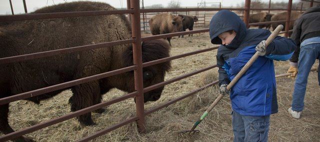 Shaun Gibbs, 12, racks hay into a pen of bison at his grandfather Don Gibbs' Lone Star Lake Bison Ranch and Meat Co., near Overbrook, after school Wednesday. The herd of 18 bison, including 2.200-pound bull King Louie, left, have been moved from the pasture to the pen for the winter and get fed twice a day. According to data from the state climatologist, the November through mid-January average temperature of 39.5 degrees is three degrees above average.