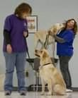 KSDS staff members Jenna Petesch, left, and Annette Metz work with a couple of yellow Labradors, who will become assistance dogs. The two dozen dogs at KSDS, formerly known as the Kansas Specialty Dog Service, in Washington, Kan., get about an hour a day of training from staff.