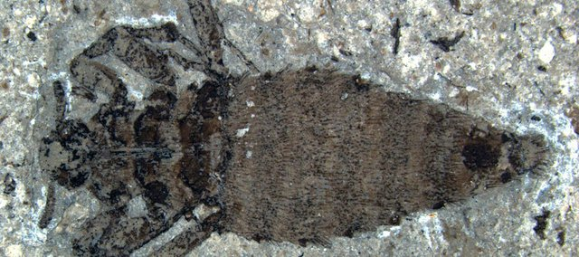 These fossils show a female flea that roamed the earth between 125 million and 165 million years ago. The fleas grew to be nearly an inch long and could have fed on the blood of dinosaurs.
