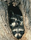 A pair of raccoons peer out from a  cottonwood tree. Concerned residents have reported seeing lethargic raccoons, but city officials say they aren't rabid.