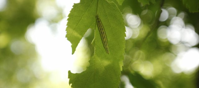 A caterpillar works to eat a leaf from a hackberry tree on Friday in the Fitch Natural History Reservation.