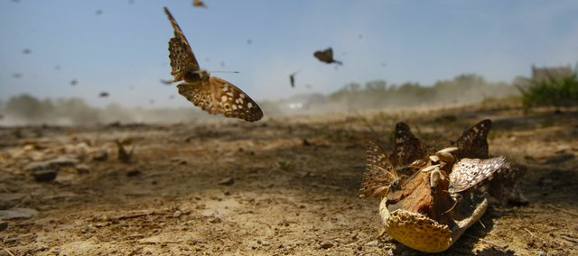 A Hackberry Emperor butterfly swoops in to join others on a rotten piece of cantaloupe left near the entryway of the Fitch Natural History Reservation north of Lawrence on May 22. Some experts believe the mild winter was cause for a population outbreak of this particular butterfly.