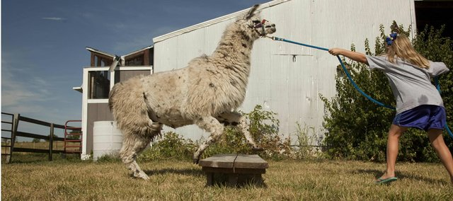 Milena Hubbell of the Clinton Eagles 4-H Club works with her llama, Dalai, on jumping a board Monday in anticipation of the Douglas County Fair competition. Her brother Piper, also in 4-H, works on training another llama, Tina.