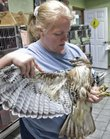 Diane Johnson, executive director of Operation Wildlife, checks the progress of an injured red-tailed hawk Tuesday at the clinic. Johnson says that with rising costs of food products and medicines for her rescued animals, so too come financial difficulties at the Linwood-based animal clinic.