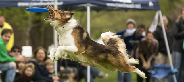 Killian, a Australian shepherd and border collie mix, flies through the air as she catches a Frisbee during a competition at South Park on Sunday afternoon.