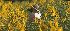 Ted Grinter plants about a million sunflower seeds near his home between Lawrence and Tonganoxie. The fields of flowers serve as a photo opportunity for many passersby.