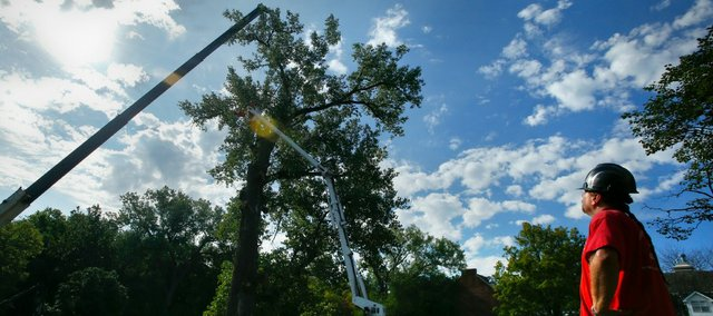 Ken Bowen, of Custom Tree Care, watches as workers cut down an estimated 80-foot-tall cottonwood tree in the lawn of the Kappa Sigma fraternity on Wednesday. The tree was forced to be removed after a contractor damaged the tree's primary root system while digging a drainage line.