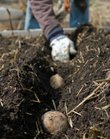 Mike Yoder/Journal-World Photo.A gardener plants potato slips in her garden after turning the soil and adding compost. Cool season crops include leafy greens, cabbage, cauliflower, broccoli, Brussels sprouts, and onions, which call be planted immediately after preparing your garden plot.
