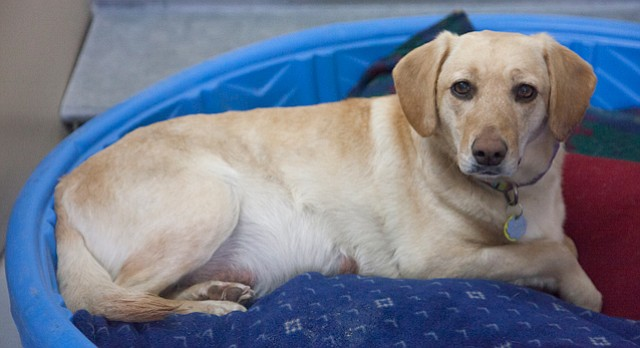 Penny was a rescued pregnant dog under foster care when she wandered away from her foster home. She was returned safe to the shelter on Thursday, Feb. 19, 2015.