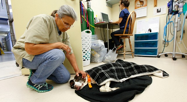 Lawrence Humane Society volunteer Janet D'Ercole kneels down to pet a recently spayed dog lying on the floor of the shelter's medical treatment area on Tuesday. Shelter officials are launching a capital campaign to renovate the facility. Among the issues that executive director Kate Meghji listed were the need for a bigger medical treatment area, bigger isolation areas for treating infected animals and replacement of mechanical units that are in disrepair.
