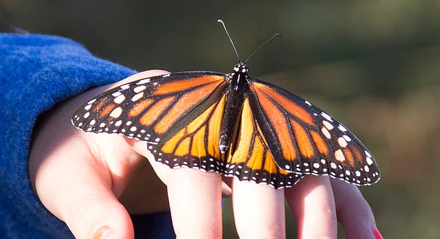 Monarch Watch's annual monarch butterfly tagging event is held Saturday, Sept. 19, 2015, on the site of a wetland restoration project on the east side of Clinton Lake.