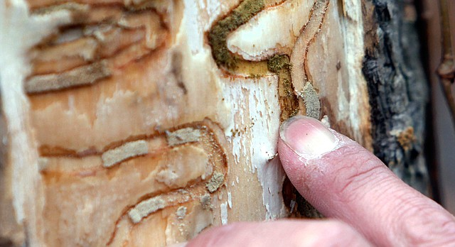 In this Oct. 26, 2011, file photo, forester Jeff Wiegert of the New York State Department of Environmental Conservation, points out the markings left from emerald ash borer larvae on an ash tree in Saugerties, N.Y., at the Esopus Bend Nature Preserve.