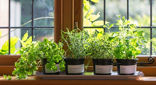 Various herbs grow in the sunlight of a kitchen window.