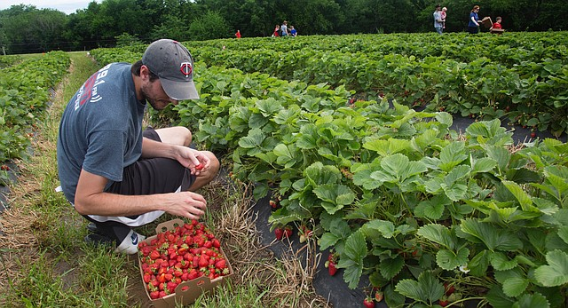 Trent Kling, of Pittsburg, comes to Wohletz Farm Fresh on North 1831 Road to pick strawberries for his coffee shop.