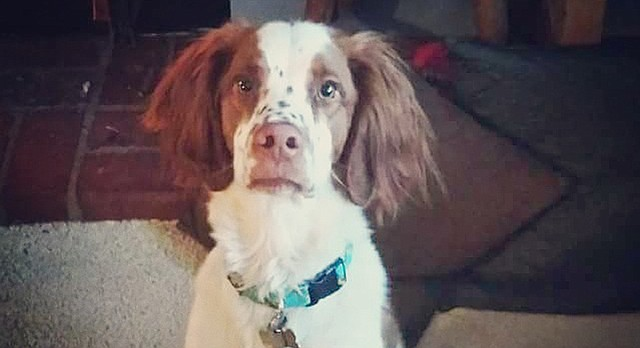 Arlo, a Brittany Spaniel, was shot and killed on Sept. 28, 2016.