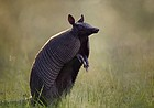 Warmer winters may make armadillos more common in Lawrence area